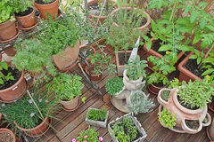 Various herbs in pots. In greenhouse Royalty Free Stock Image