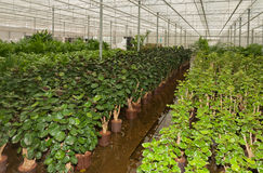 Various houseplants in a plant nursery Stock Photo