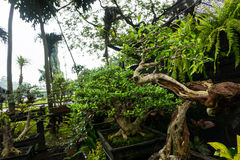 Various kind of Bonsai tree sell in plant store for decorative plants photo taken in Jakarta Indonesia Stock Photos