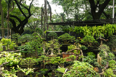 Various kind of Bonsai tree sell in plant store for decorative plants photo taken in Jakarta Indonesia Royalty Free Stock Photo