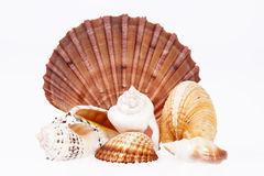 Various kind of seashells isolated  on white background Stock Photography