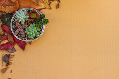 Various kind of succulent plants in a can setting on cardboard with dried leaves Stock Images