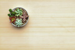 Various kind of succulent plants in a can setting on cardboard with dried leaves Royalty Free Stock Images