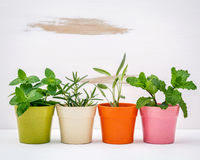 Various kinds of colorful potted garden herbs with white shabby Royalty Free Stock Photos