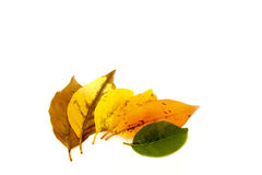 Various Leaf Colors Depicting Cycle Of Life Royalty Free Stock Photos