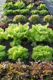 Various leafy green salats Royalty Free Stock Photography
