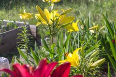 Various lilies in garden, flowerbed, rustic countryside Royalty Free Stock Photography