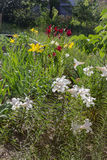 Various lilies in garden, flowerbed, rustic countryside. Various lilies in the garden, flowerbed, rustic countryside Royalty Free Stock Photography