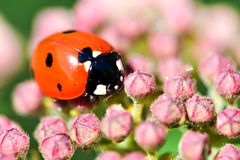 Macrophotography of large and red with black dots ladybug sitting on a flower of japanese meadowsweet or korean spiraea. Various macrophotography of large and royalty free stock photography