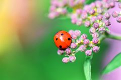 Macrophotography of large and red with black dots ladybug sitting on a flower of japanese meadowsweet or korean spiraea. Various macrophotography of large and stock photos