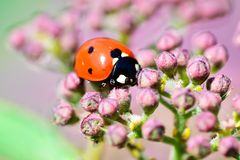 Macrophotography of large and red with black dots ladybug sitting on a flower of japanese meadowsweet or korean spiraea. Various macrophotography of large and royalty free stock photo