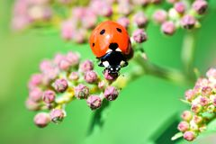 Macrophotography of large and red with black dots ladybug sitting on a flower of japanese meadowsweet or korean spiraea. Various macrophotography of large and stock photography