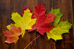 Various maple leaves on wooden background. Red, orange and green maple leaves on wooden background royalty free stock image