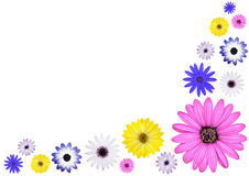 Various Multi Colored Osteospermum Daisy Flowers Stock Images