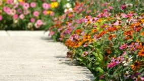 Various multicolor Coneflower - Daisy in the home garden backyard.  stock video