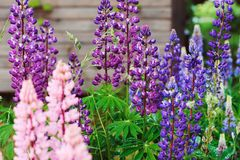 Various multicolour lupine flowers blooming in summer garden. Perennials blooming in June stock image