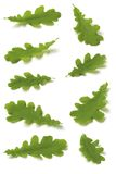 Various Oak leaves Stock Image