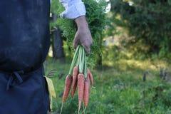 Gardener man holding carrot harvest in a hand Royalty Free Stock Photo