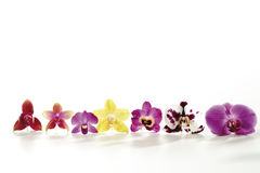 Various orchids in a row Royalty Free Stock Photo