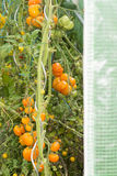Various organic specie of tomatoes growing into little french gr Stock Photos