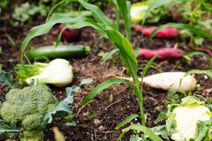 Various organic vegetables in a corn field. Are lying on the ground Stock Photo