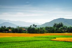 Various phases of rice cultivation. Colorful rice fields. Scenic bright green, yellow and orange rice fields at different stages of maturity. Various phases of stock photos