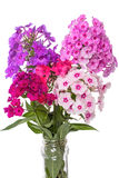 Various phlox Royalty Free Stock Image