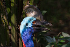 Various pictures of Cassowary bird Stock Photography