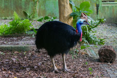 Various pictures of Cassowary bird. Pictures of Cassowary, a flightless bird covered in dense, two-quilled black feathers with striking blue and orange skin Stock Photos