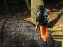 Various pictures of Cassowary bird. Pictures of Cassowary, a flightless bird covered in dense, two-quilled black feathers with striking blue and orange skin Stock Images