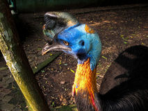 Various pictures of Cassowary bird. Pictures of Cassowary, a flightless bird covered in dense, two-quilled black feathers with striking blue and orange skin Stock Photo