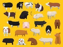 Various Pig Breeds Poses Cartoon Vector Illustration Stock Photo