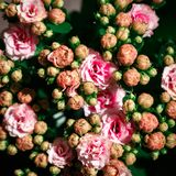 Various pink Kalanchoe flowers on black background. Flat lay stock images
