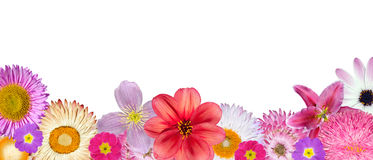 Various Pink, Red, White Flowers at Bottom Row. Isolated on White Background. Selection of Strawflower, Clematis, Daisy, Dahlia, Primrose, English Daisy Stock Photo