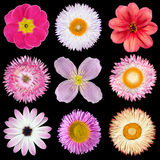 Various Pink, Red, White Flowers Isolated on Black. Background. Selection of Strawflower, Clematis, Daisy, Dahlia, Primrose, English Daisy Stock Image