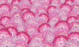 Various Pink Strawflowers Background Royalty Free Stock Photo