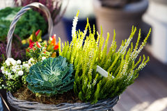 Various plants and flowers in a wicker basket. Decorative composition. Green energy still life image. shallow depth of Royalty Free Stock Photo