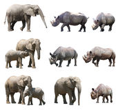 The various postures of the african elephant and black rhinoceros on white background. African elephants and black rhinoceros are the two types of biggest animal Royalty Free Stock Photos