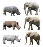 The various postures of the african elephant and white rhinoceros or square-lipped rhinoceros on white background Royalty Free Stock Image