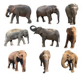 The various postures of the asian elephant on white background, Super Series Royalty Free Stock Photo