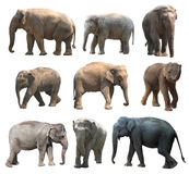 The various postures of the asian elephant on white background, Super Series Stock Photography