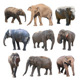 The various postures of the asian elephant on white background, Super Series Royalty Free Stock Photography