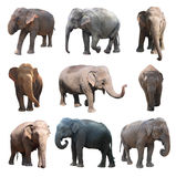 The various postures of the asian elephant on white background, Super Series Royalty Free Stock Images