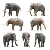 The various postures of the asian long teeth male elephant on white background, Super Series Stock Photography
