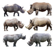 The various postures of the black rhinoceros and white rhinoceros on white background. White rhinoceros and black rhinoceros are two types of rhinos in Africa Stock Images