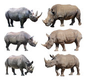 The various postures of the black rhinoceros and white rhinoceros on white background. White rhinoceros and black rhinoceros are two types of rhinos in Africa Royalty Free Stock Photos