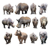 The various postures of the black rhinoceros and white rhinoceros on white background. White rhinoceros and black rhinoceros are two types of rhinos in Africa Stock Photos