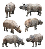 The various postures of the indian rhinoceros or greater one-horned rhinoceros on white background, Super Series. India rhinoceros is one of the three types Stock Photography