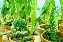 Various potted cacti. In the greenhouse Stock Images