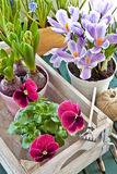 Various potted spring flowers. In vintage wooden box Royalty Free Stock Image
